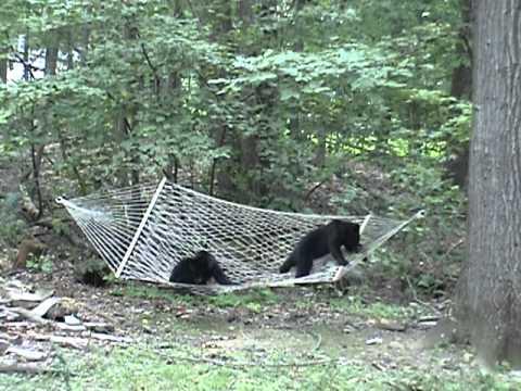 two black bear cubs climbing on hammock update 1 7 12 two black bear cubs climbing on hammock update 1 7 12   youtube  rh   youtube