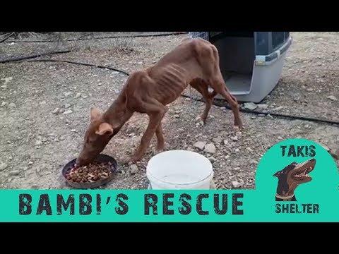 skinny-starving-dog-rescued---bambi---takis-shelter