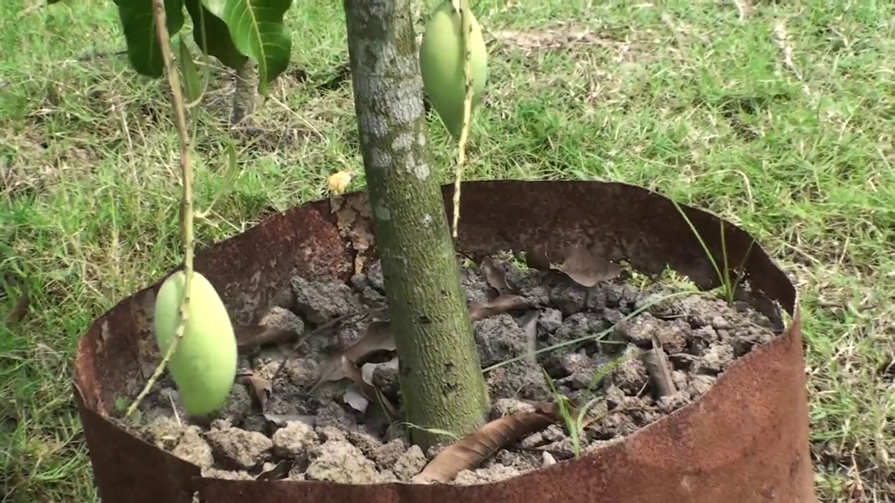 How To Grow Mango Tree In Pot Mango In Container Mango