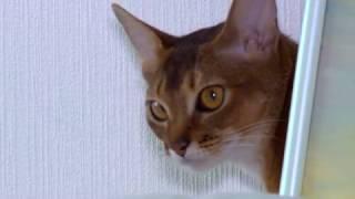 За нами хвост. Абиссинская кошка