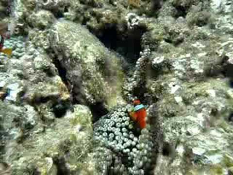 下地島・中の島のクマノミ。時々黒い魚