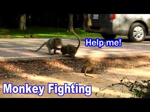 Monkey Fighting, Nice Faghting Big Monkey, Nature Monkey Life