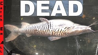 RARE TIGER CATFISH CAUGHT DEAD!