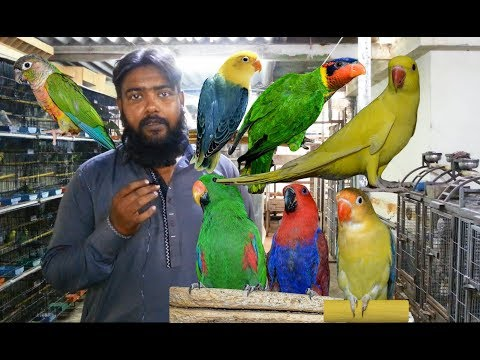Exotic Birds - Parblue - Titron Hand Tame - Electus - Blue Fronted Amazon