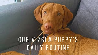 Our daily routine with our 8 month old Vizsla puppy
