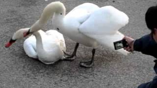 Swan killing swan in High Park, Toronto