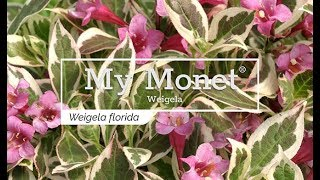 30 Seconds with My Monet® Weigela