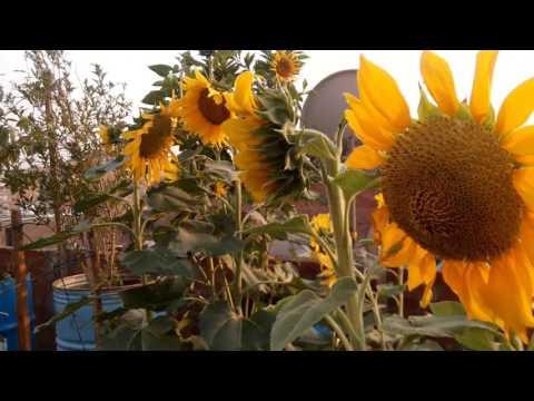زراعة الاسطح - انتاج زيت دوار الشمس Cultivation of sunflower oil
