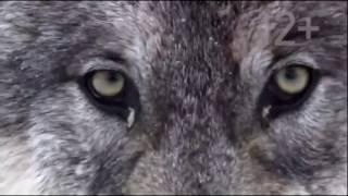 Дикая природа (Волки)Интересный документальный фильм
