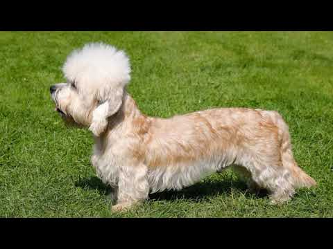 Dandie Dinmont Terrier  small dog breed