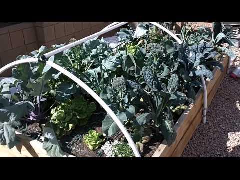 First year growing organic veggies in Las Vegas - Success!