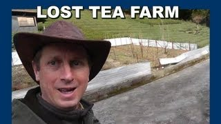 Abandoned green tea farm 放棄された日本の緑茶ファーム - Abandoned Japan 日本の廃墟