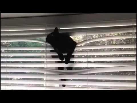 Cute kitten Cat climbs window blinds