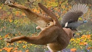 カラカルイノシシを攻撃し、鳥をキャッチ