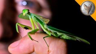 Incredible Leaf Mantis!