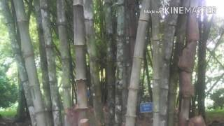 23 types of Bamboo in Bangladesh