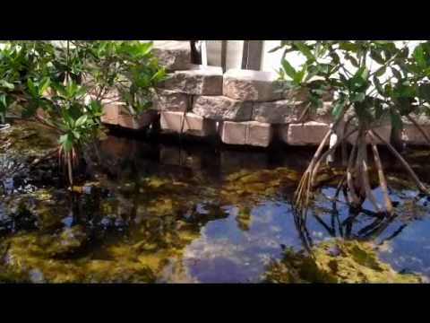 Mangrove trees in a salt water pond.   YouTube