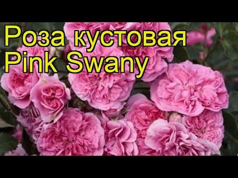 Роза кустовая Пинк Свани. Краткий обзор, описание характеристик, где купить саженцы Pink Swany