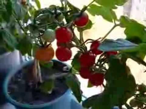 видео: Как выросли на окне помидоры?