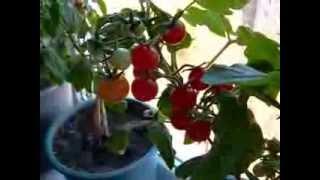 Как выросли на окне помидоры?(Это видео, представляет для Вас, полную версию происхождения помидорного куста в горшке на подоконнике..., 2013-11-01T18:26:25.000Z)