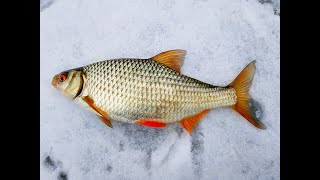 Оставил ВЕРТОЛЁТЫ без присмотра Крупная плотва на мелководье Зимняя рыбалка 2020 2021