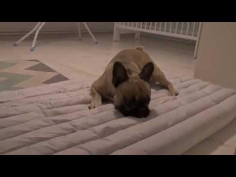 Buldog francuski - w oczekiwaniu na nadejście łóżeczka dla dziecka