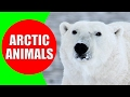 Arctic Animals for Kids - Arctic Animal Sounds for Children to Learn | Snow Animals & Polar Animals