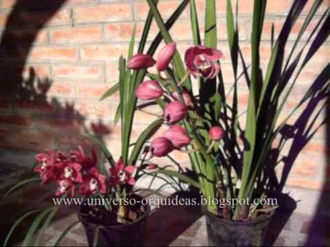 74309462574021635 together with Birds Of A Feather Flock Together in addition Cymbidium Orchid Mixed likewise Types Of Orchids moreover Dendrobium Phalaenopsis Cv. on all images of cymbidium orchids