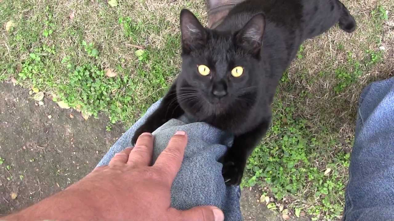 feral black cat loving on me in hd using a video camera
