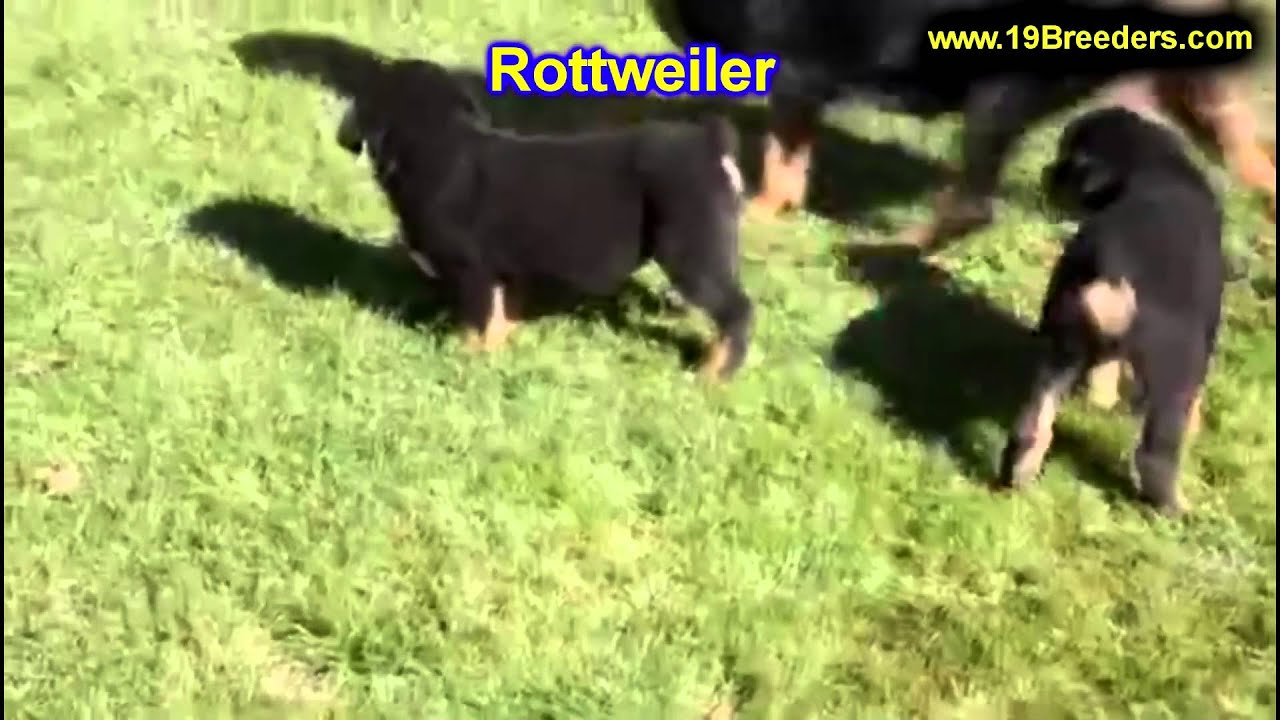 Rottwieler Puppies For Sale In Rio Rancho New Mexico County