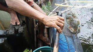 Inovasi baru Budidaya KEPITING kolam terpal( 15 hari panen)
