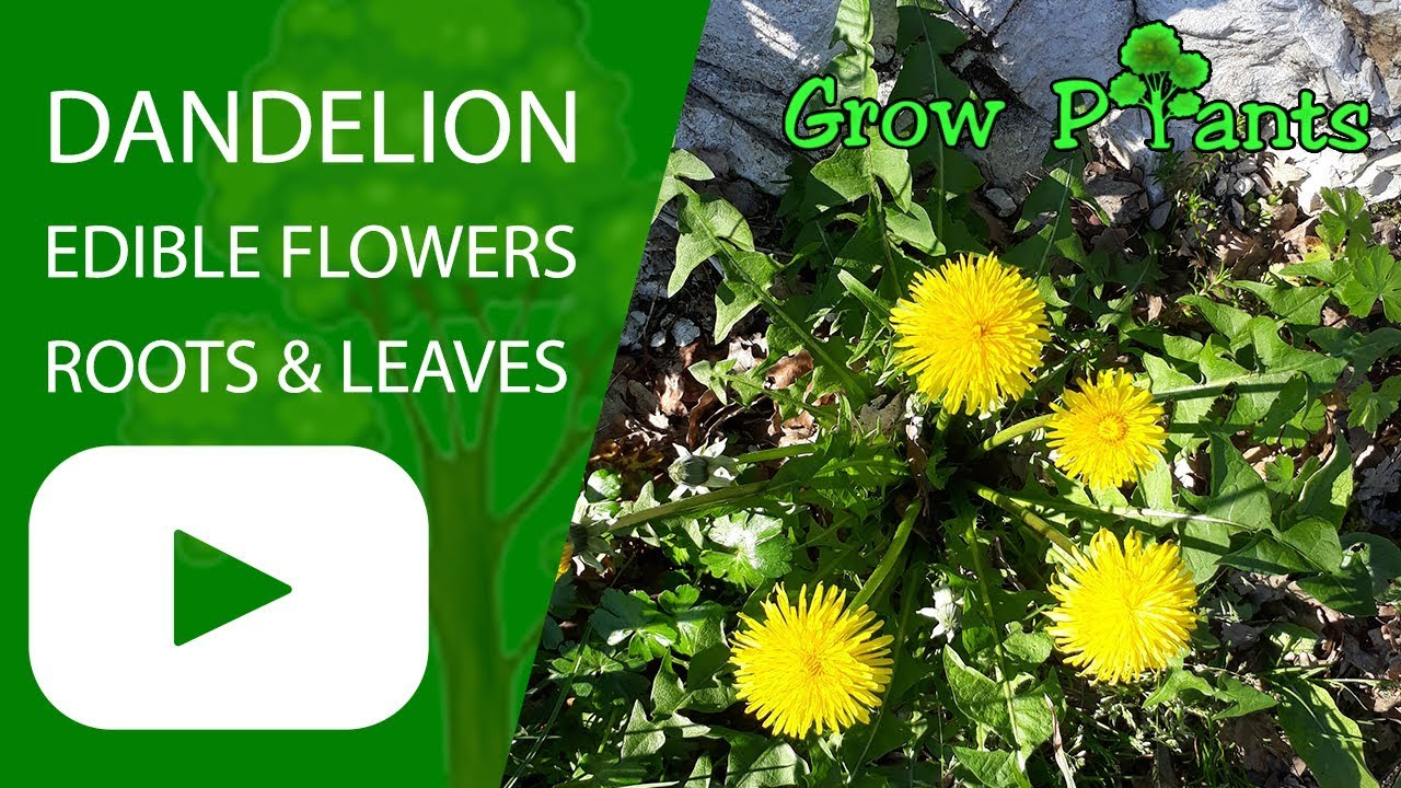 dandelion plant growing harvesting edible roots flowers