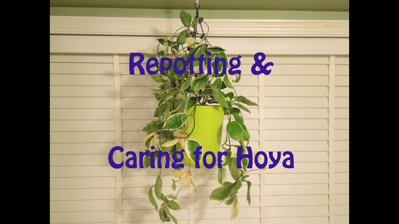 Repotting And Caring For Hoya Youtube