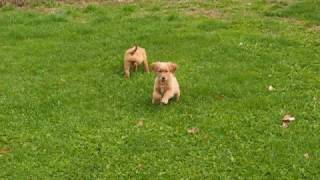 Topbrass Gretta Mae And Sungold Landon--akc Golden Retriever Pups For Sale   Www.goldenridgekennels.com