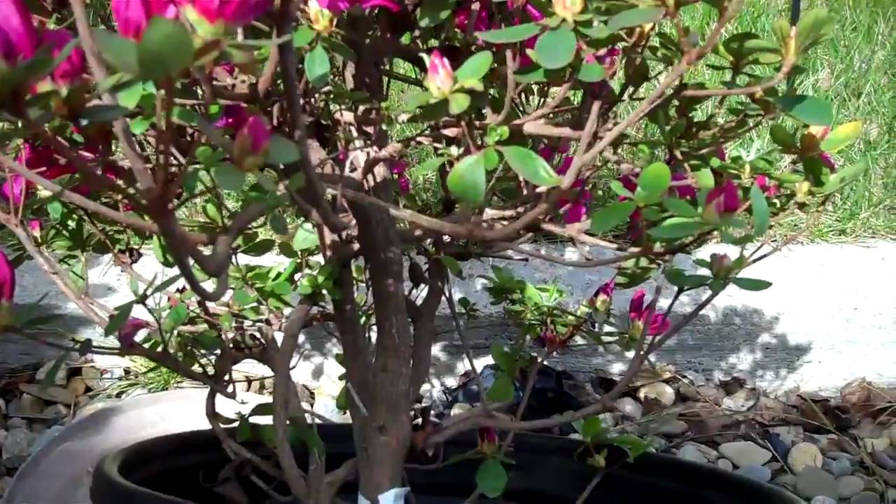 How To Create Azalea Bonsai From A Nursery Plant Part 1 Plant Selection And Pruning Mp4 Youtube