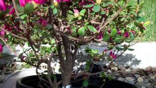 How to Create Azalea Bonsai from a Nursery plant: Part 1 Plant selection and Pruning.mp4
