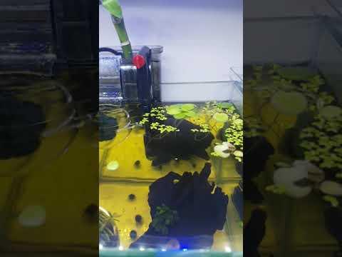 My 2.5 Gallon Betta fish tank set-up with floating Marino Moss Ball effect