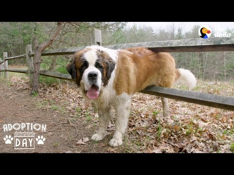 download 130-Pound Dog Gets His First Home Ever | The Dodo Adoption Day