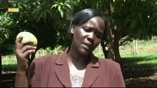 Smart Farm: Mango Farming In Elgeyo Marakwet