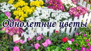 Цветы.Цветущие все лето. Среднерослые однолетние.