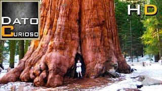 el árbol más grande del mundo impresionante árbol gigante