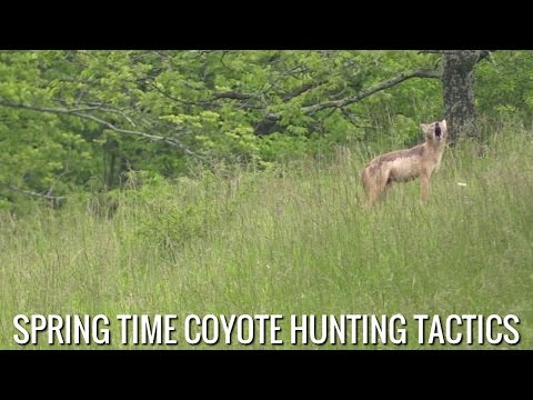 Spring Time Coyote Hunting Tactics
