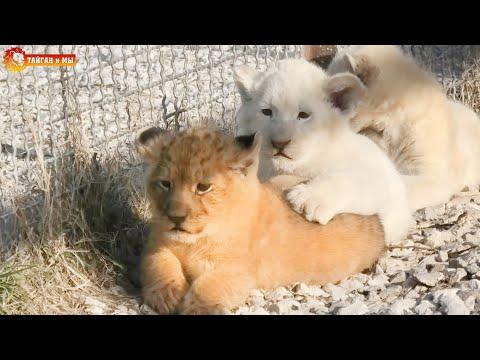 Мама Лейла выгуливает разноцветных львят. Львята все смелее. Тайган. Multi-colored Lion Cubs.