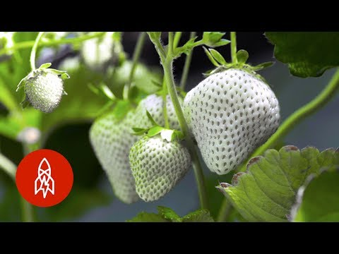 Cultivating Japan's Rare White Strawberry
