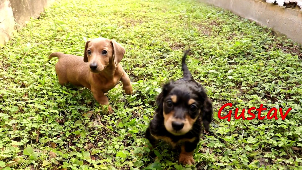 Short Hair Dachshund Puppies