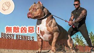 極度可怕的暴力犬可以三分鐘解決兩隻牧羊犬