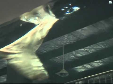 Wild Chinese sturgeon caught by Yangtze fisherman
