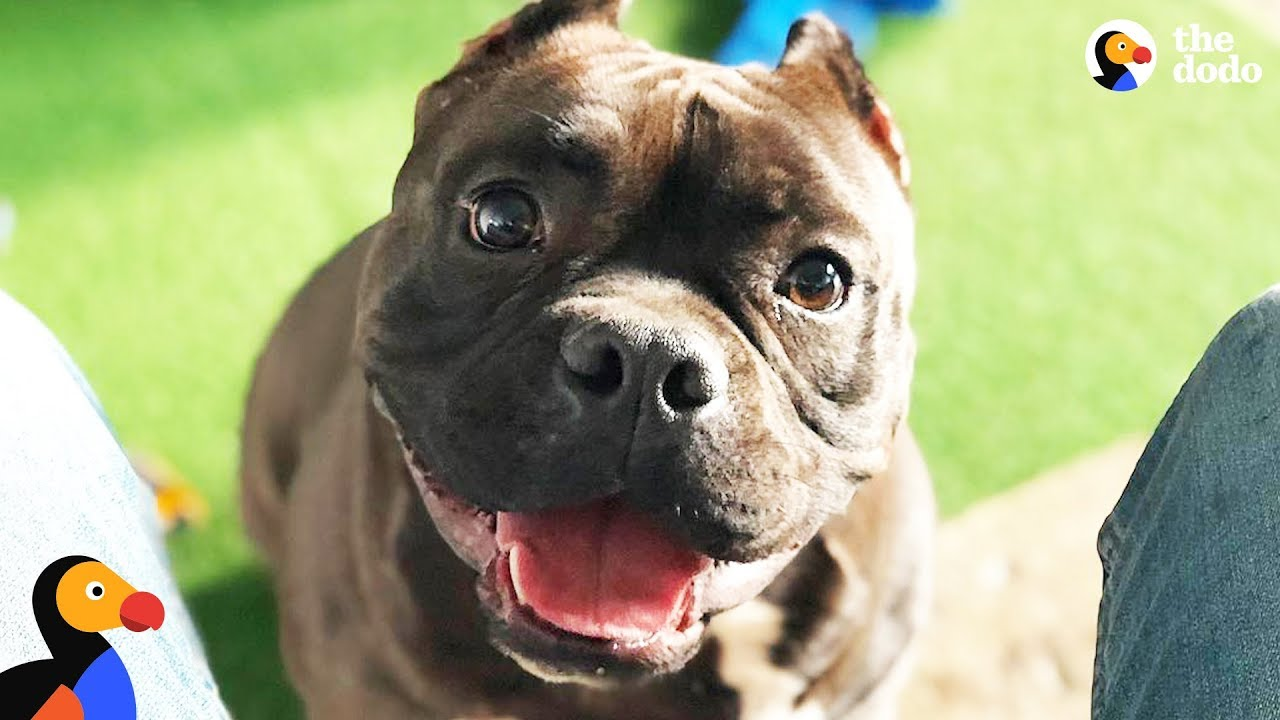 Pit Bull Dog Is The Happiest Boy Since He Got Rescued. BATMAN. The Dodo