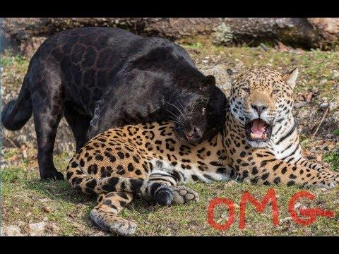 Panther vs Jaguar Animal Fighting vidz - YouTube - photo#23