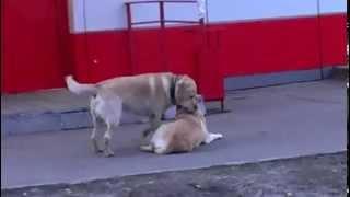 Собаки трахаются)